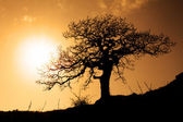 Silhouette of an old oak — Stock Photo