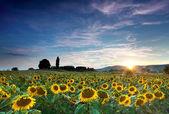 Słoneczniki piękne błękitne niebo i sunburst — Zdjęcie stockowe
