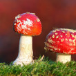 Stock Photo: Two red toadstools