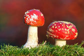 Two red toadstools — Stock Photo