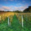 Rows of vines to sunset — Stock Photo