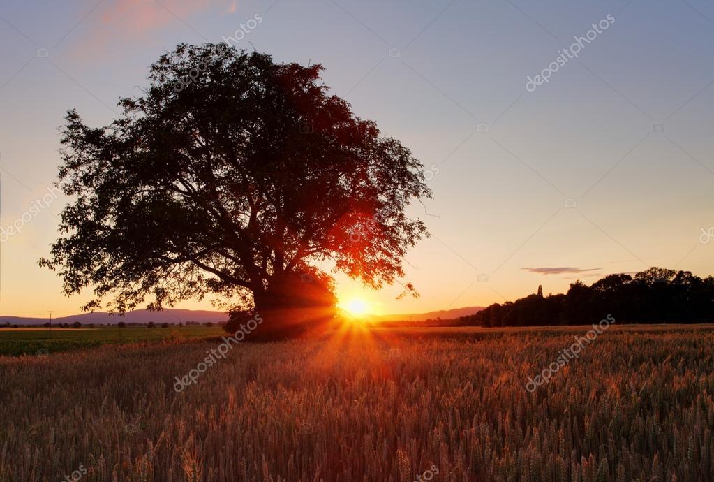 橡木树上日落