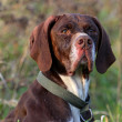 Head of German shorthaired pointer — Stock Photo
