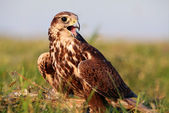 Falconer with Falcon — Stock Photo