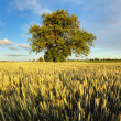 Alone oak tree standing in the wheat field — Стоковая фотография