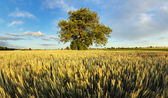 Alone oak tree standing in the wheat field — Stock Photo