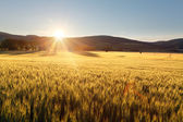Sunset over wheat field. — Foto de Stock