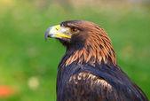 Portrait of a Golden Eagle (Aquila chrysaetos) — Stock Photo