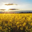 Sunset over rapeseed field - Stock Photo
