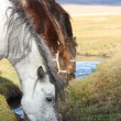 Horses drinking water in the mongolian prairie — Stock Photo