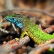 Green lizard (lacerta viridis) on a rock mountain — Stock Photo