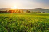 Zelené pšeničné pole — Stock fotografie