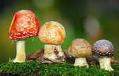 Nice Four toadstools in moss — Stock Photo