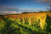 Beautiful Vineyard Landscape with road — Stock Photo