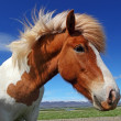 Stock Photo: Horse head in Iceland