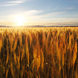Foto Stock: Wheat field at sunset