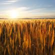 在日落的麦田 — 图库照片