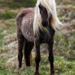 Iceland horse — Stock Photo #27291663