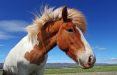 Horse head in Iceland — Stock Photo