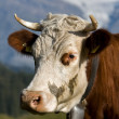 Swiss cow — Stock Photo #27697915
