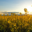 Stock Photo: Canola Yellow field