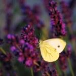 Butterfly - Brassicae Pieris on Lavandula — Stock Photo #27698083