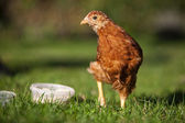 Young Hen — Stock Photo