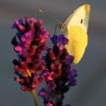Butterfly - Brassicae Pieris on Lavandula — Stock Photo #28614275