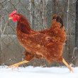 Stock Photo: Running hen in winter