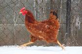 Running hen in winter — Stock Photo