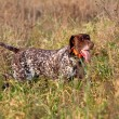 Hunting German shorthaired pointer — Stock Photo #29721313