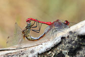 A red dragonfly at rest Sympetrum vulgatum — Stock Photo