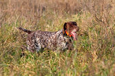 Hunting German shorthaired pointer — Stock Photo