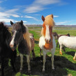 Stock Photo: Icelandic horses.