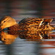Duck in water — Stock Photo #30748279