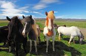 Icelandic horses. — Stock Photo