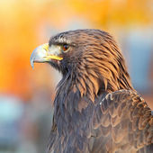 Portrait of a Golden Eagle (Aquila chrysaetos) — Stock Photo