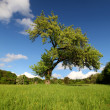 Old tree and sky with the clouds — Stock Photo