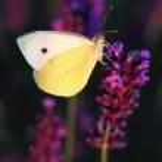 Butterfly - Brassicae Pieris on Lavandula — Stock Photo #32407515