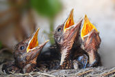 Bird nest with young birds - Eurasian Blackbird — Stock Photo