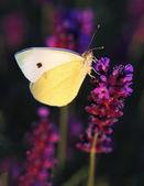 Butterfly - Brassicae Pieris on Lavandula — Stock Photo