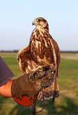 Falconer with Falcon — Stock Photo