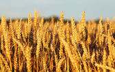 Wheat — Photo
