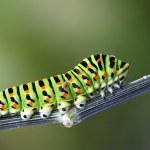 Green caterpillar - papilio machaon — Stock Photo
