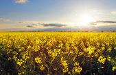 Golden flower fältet med sol — Stockfoto