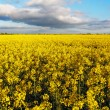 Canola Yellow field — Stock Photo
