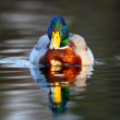 Duck in water — Stock Photo #35171051