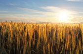 Coucher de soleil sur le champ de blé — Photo