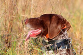 Leiter des German Shorthaired pointer — Stockfoto