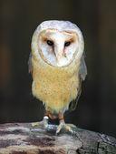Barn - Tyto alba — Stock Photo